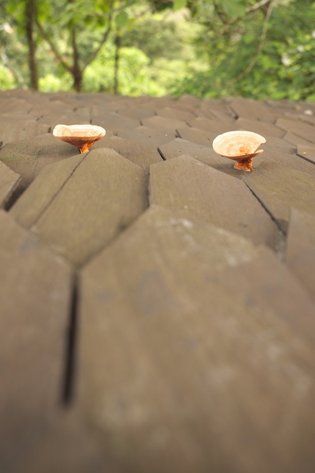 Fungus on the roof at Templer Park Rainforest Retreat