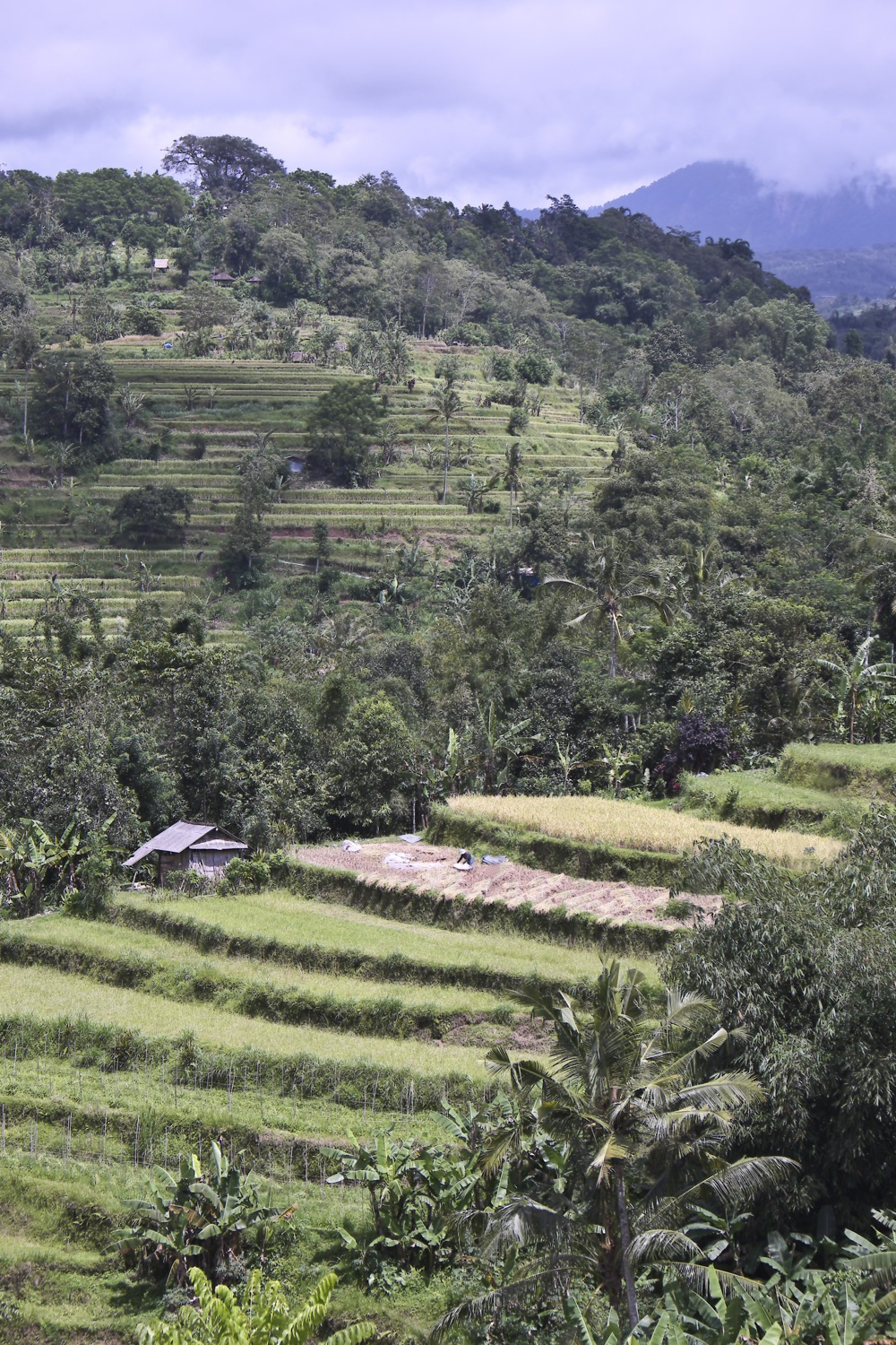 Bali terraced paddy fields